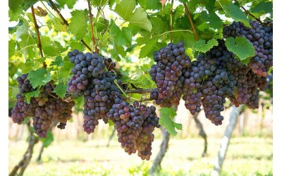 Как обеспечить винограду полноценный полив?