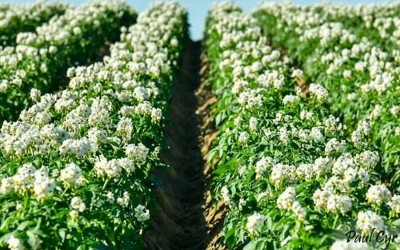 Орошение картофеля